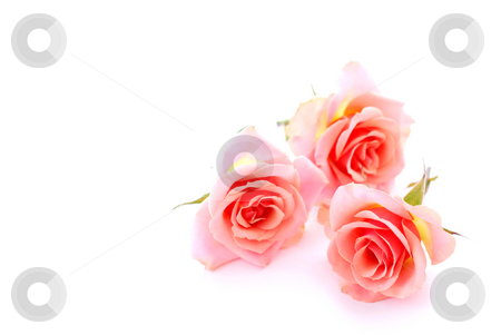 Pink roses stock photo, Three pink roses on white background with space for copy by Elena Elisseeva