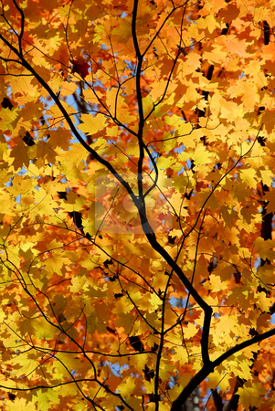 Maple leaves stock photo, Background of bright orange fall maple leaves with tree branches by Elena Elisseeva
