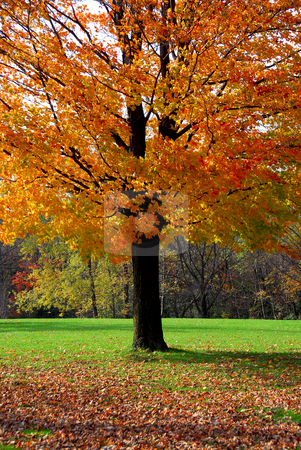 Maple tree stock photo, Single maple tree with colorful fall leaves by Elena Elisseeva