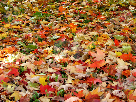Fall leaves background stock photo, Fall maple leaves background by Elena Elisseeva