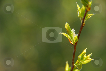 Spring leaf green stock photo, Glowing backlit young spring leaves on natural green background by Elena Elisseeva