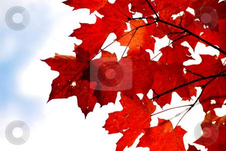 Red maple leaves stock photo, Bright red fall maple leaves by Elena Elisseeva