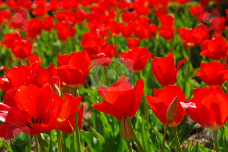 Red tulips stock photo, Sea of red tulips by Elena Elisseeva
