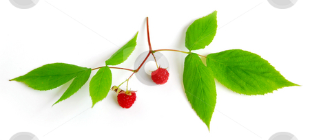 Raspberry branch on white stock photo, Raspberry branch with berries on white background by Elena Elisseeva