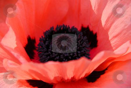 Poppy macro stock photo, Poppy flower macro by Elena Elisseeva