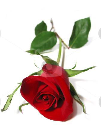 Red rose white background stock photo, Beautiful single red rose isolated on white background by Elena Elisseeva