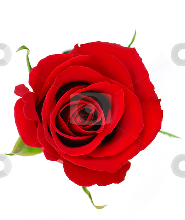 Red rose stock photo, Top view of a red rose blossom isolated on white background by Elena Elisseeva