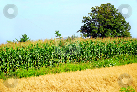 Agriculture stock photo, Agricultural landscape with corn and oat fields by Elena Elisseeva