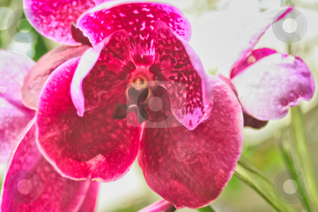 Beautiful Iris Flower stock photo, A macro shot of a pink Iris flower by Kevin Tietz