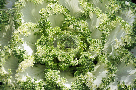 Ornamental Cabbage stock photo, A close up detailed shot of Ornamental Cabbage by Kevin Tietz