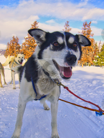 Husky stock photo, A husky pulling a sled in the snow by Kevin Tietz