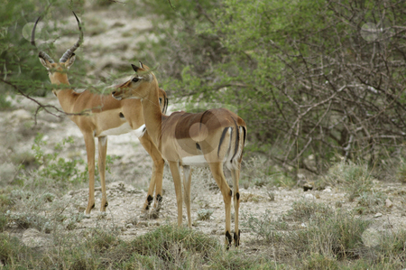 Impala stock photo, Two impala's listening if there is any danger by Claudia Van Dijk