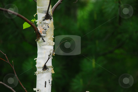 Spring forest stock photo, Natural background of lush green spring forest with single birch tree by Elena Elisseeva