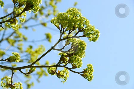 Spring tree stock photo, Branches of green blooming maple tree in the spring by Elena Elisseeva