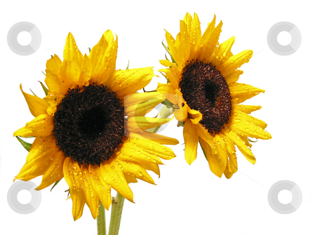 Sunflower on white stock photo, Two sunflowers isolated on white background by Elena Elisseeva