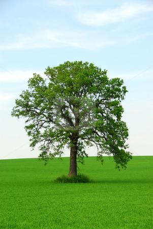 Single tree stock photo, Single tree in summer by Elena Elisseeva