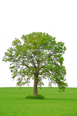 Tree stock photo, Single oak tree in a green field on white background by Elena Elisseeva