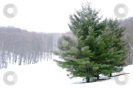Winter landscape stock photo, Pine trees in a snowy field, winter forest in background by Elena Elisseeva