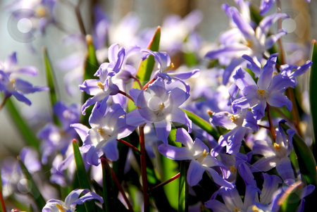Glory of the snow stock photo, Blue flowers of glory of the snow in early spring by Elena Elisseeva