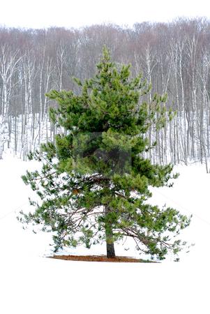 Winter landscape stock photo, Single pine tree in a snowy field, winter forest in background by Elena Elisseeva