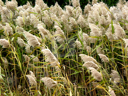 Tall grass stock photo, Flowering reeds (tall grass) by Elena Elisseeva