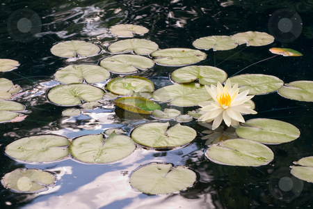 Lilly Pads stock photo, Multiple lilly pads floating on the water by Richard Nelson