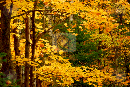 Fall forest background stock photo, Colorful fall forest background with maples trees by Elena Elisseeva