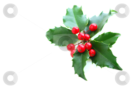 Christmas Holly stock photo, Christmas holly leaves and berries isolated on white background by Elena Elisseeva