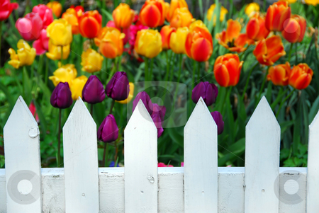 Tulips white fence stock photo, Colorful tulips behing white fence by Elena Elisseeva