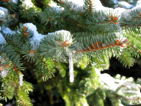 Winter fir stock photo, Closeup on fir tree branches covered in snow icicles by Elena Elisseeva