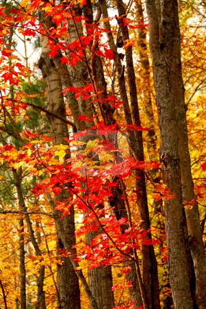 Fall forest background stock photo, Colorful fall forest background with red maples leaves by Elena Elisseeva