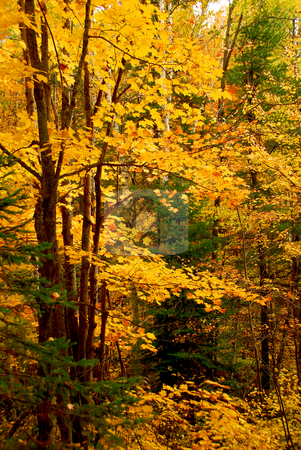 Fall forest background stock photo, Colorful fall forest background with maple trees by Elena Elisseeva