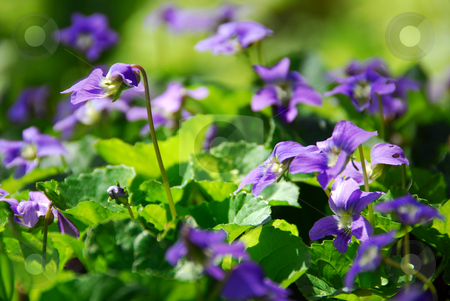 Violets and no people stock photo, Blooming purple wild violets in the spring by Elena Elisseeva