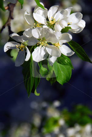 Apple blossom stock photo, Branch of a blooming apple tree baskign in sunlight by Elena Elisseeva