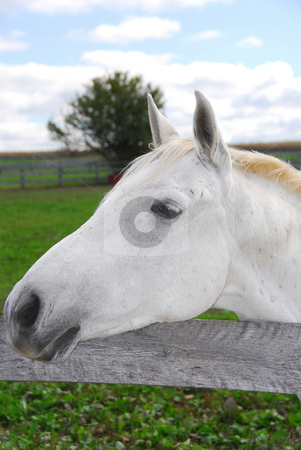 White horse stock photo, Portrait of a white horse in a field by Elena Elisseeva