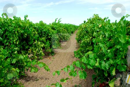 Vineyard stock photo, Vineyard with green vines by Elena Elisseeva