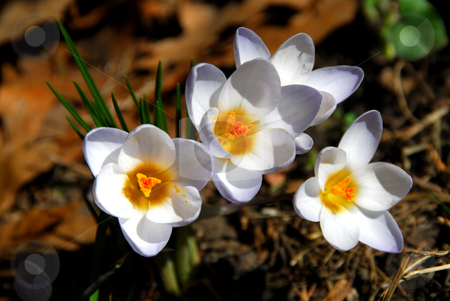 Crocus stock photo, White crocus flowers by Elena Elisseeva