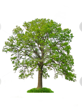 Isolated tree stock photo, Single oak tree with green leaves isolated on white background by Elena Elisseeva