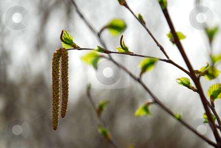 Spring tree branch stock photo, Spring tree branch closeup by Elena Elisseeva