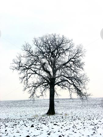 Tree in a winter field 1 stock photo, Lonely oak tree in a winter field by Elena Elisseeva