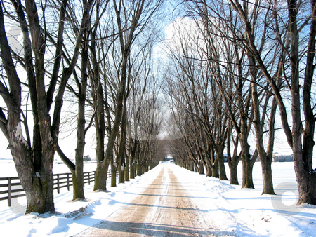 Winter tree lined lane stock photo, Winter tree lined lane on a snow covered farm on a sunny day by Elena Elisseeva