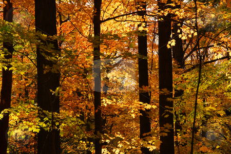 Fall forest stock photo, Scenic view of sunlit colorful forest in the fall by Elena Elisseeva