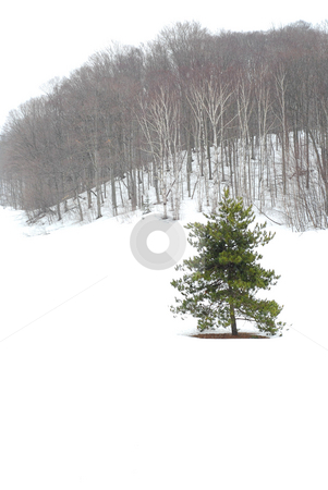 Winter landscape stock photo, Winter landscape during snowfall with standalone pine tree by Elena Elisseeva