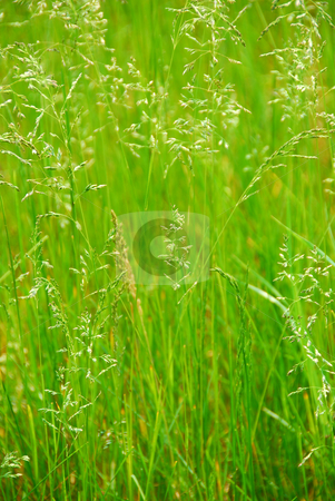Tall grass stock photo, Background of tall green grass growing in a meadow by Elena Elisseeva