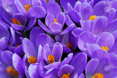 Purple crocus stock photo, Purple crocuses closeup by Elena Elisseeva