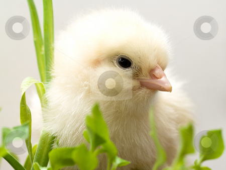 Baby chick stock photo, Baby chick hatched from egg by Adrian Costea