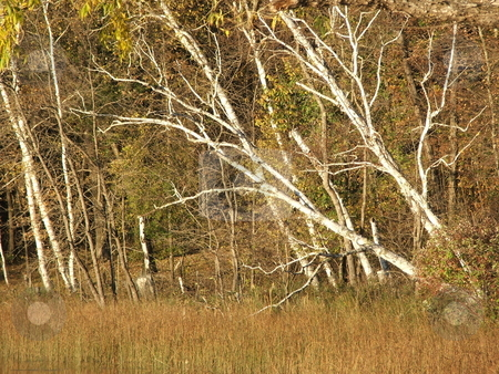 Leaning white birches stock photo, White birches display fall colors on a Minnesota lake shoreline. by Dennis Thomsen