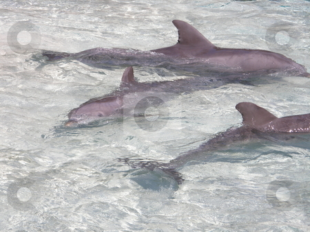 Dolphins stock photo, Intelligent Dolphins by Ritu Jethani