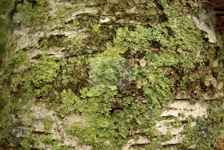Curious Birch Tree Growth stock photo, The trunk of a white birch tree plays host to a variety of plant growths.  The green lichen like growth creates a stark contrast  on the birch bark. by Dennis Thomsen