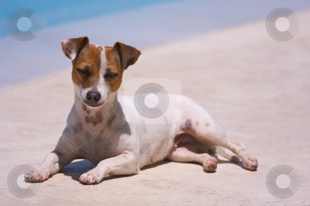 Summer dog stock photo, JRT soaks up the sun poolside. by Andy Dean